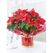 Poinsettia Drum